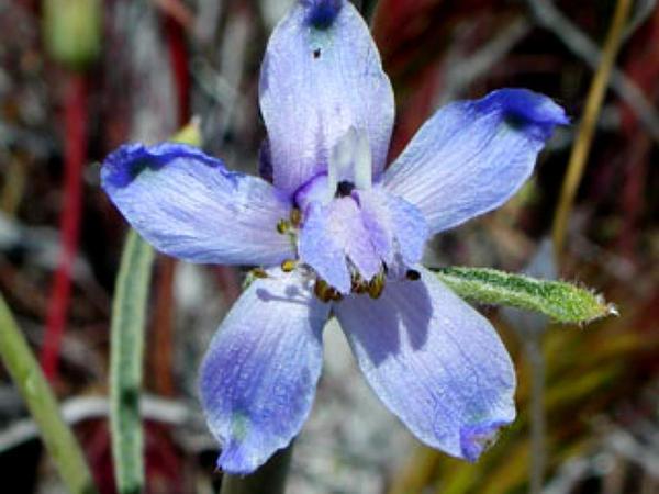 Desert Larkspur (Delphinium Parishii) http://www.sagebud.com/desert-larkspur-delphinium-parishii