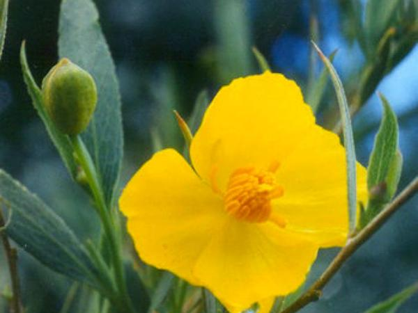 Tree Poppy (Dendromecon Rigida) http://www.sagebud.com/tree-poppy-dendromecon-rigida
