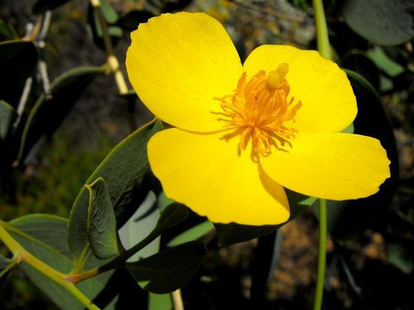 Tree Poppy (Dendromecon Rigida) http://www.sagebud.com/tree-poppy-dendromecon-rigida