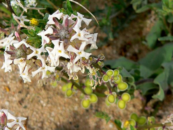 California Shieldpod (Dithyrea Californica) http://www.sagebud.com/california-shieldpod-dithyrea-californica