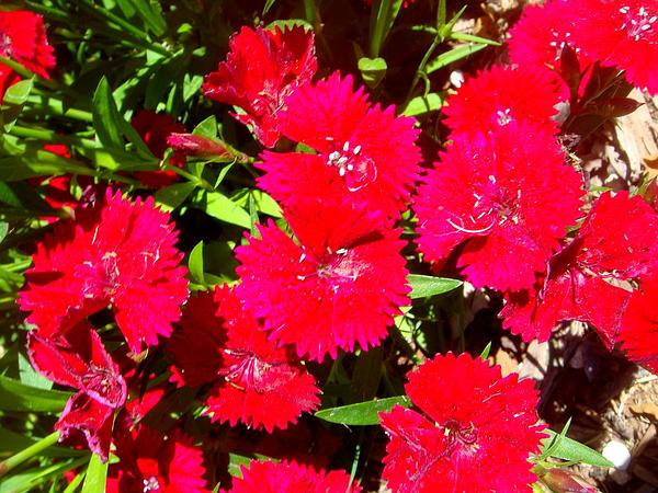 Rainbow Pink (Dianthus Chinensis)