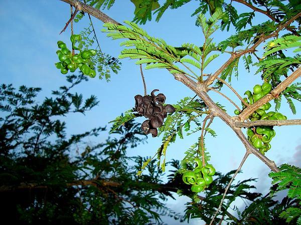 Dichrostachys (Dichrostachys) http://www.sagebud.com/dichrostachys-dichrostachys