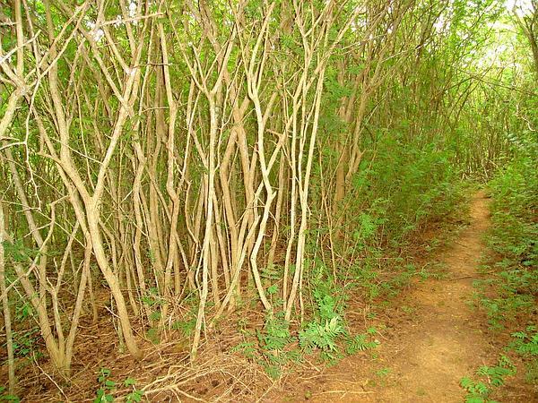 Aroma (Dichrostachys Cinerea) http://www.sagebud.com/aroma-dichrostachys-cinerea