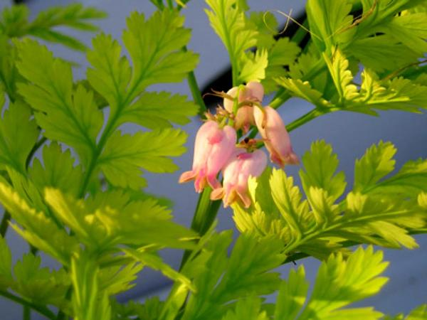 Pacific Bleeding Heart (Dicentra Formosa) http://www.sagebud.com/pacific-bleeding-heart-dicentra-formosa