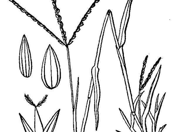 Smooth Crabgrass (Digitaria Ischaemum) http://www.sagebud.com/smooth-crabgrass-digitaria-ischaemum