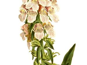 DILA3/Digitalis_lanata-no_text_300.jpg