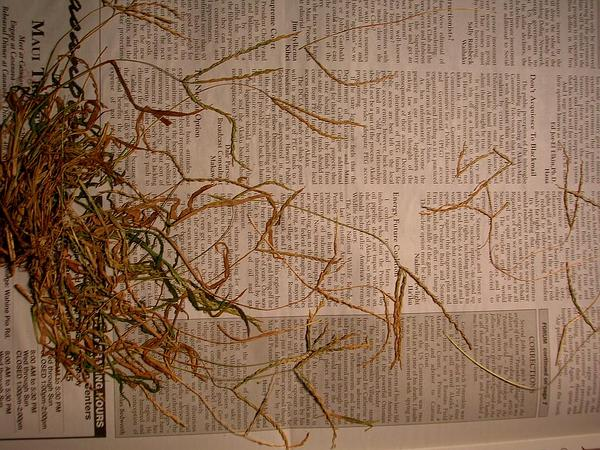 East Indian Crabgrass (Digitaria Setigera) http://www.sagebud.com/east-indian-crabgrass-digitaria-setigera
