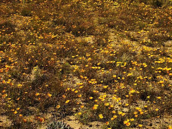 Glandular Cape Marigold (Dimorphotheca Sinuata) http://www.sagebud.com/glandular-cape-marigold-dimorphotheca-sinuata/