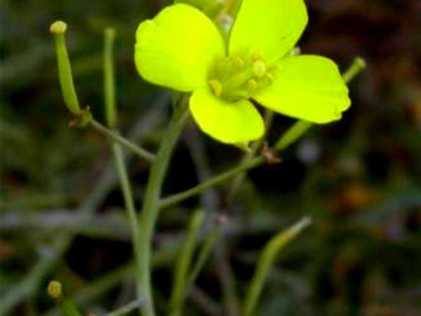 Perennial Wallrocket (Diplotaxis Tenuifolia) http://www.sagebud.com/perennial-wallrocket-diplotaxis-tenuifolia