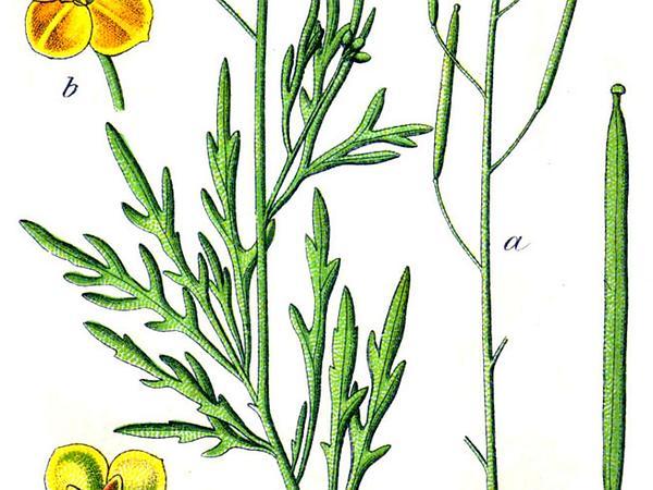 Perennial Wallrocket (Diplotaxis Tenuifolia) http://www.sagebud.com/perennial-wallrocket-diplotaxis-tenuifolia/