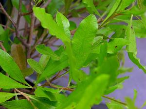 DOVI/Dodonaea_viscosa_'Purpurea'_Leaves_and_Stems_3264px_300.jpg
