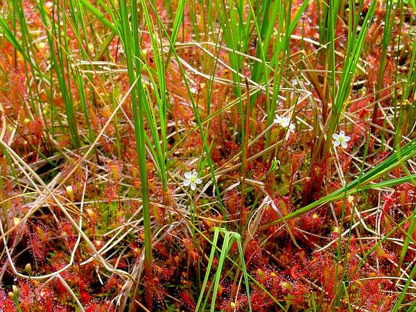 English Sundew (Drosera Anglica) http://www.sagebud.com/english-sundew-drosera-anglica/