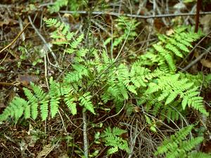 Spinulose Woodfern