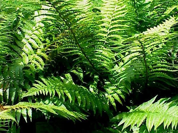 Male Fern (Dryopteris Filix-Mas) http://www.sagebud.com/male-fern-dryopteris-filix-mas
