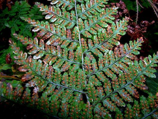 Kilaw (Dryopteris Glabra) http://www.sagebud.com/kilaw-dryopteris-glabra