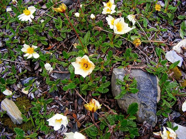 Eightpetal Mountain-Avens (Dryas Octopetala) http://www.sagebud.com/eightpetal-mountain-avens-dryas-octopetala