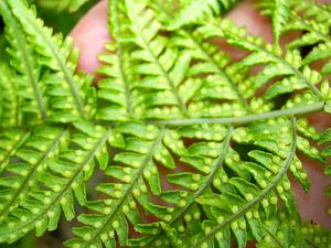 Pacific Woodfern