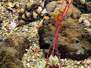 DUCA4/Dudleya_caespitosa_1_300.jpg