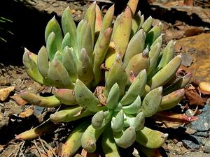 DUDLE/Dudleya_anomala_1_300.jpg