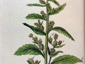 DYSPH/Chenopodium_anthelminticum_Ypey60_300.jpg