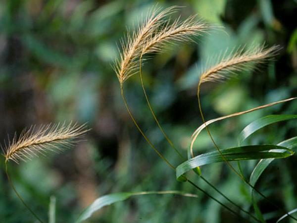 Hairy Wildrye (Elymus Villosus) http://www.sagebud.com/hairy-wildrye-elymus-villosus