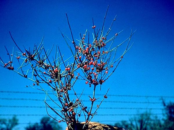 Clapweed (Ephedra Antisyphilitica) http://www.sagebud.com/clapweed-ephedra-antisyphilitica
