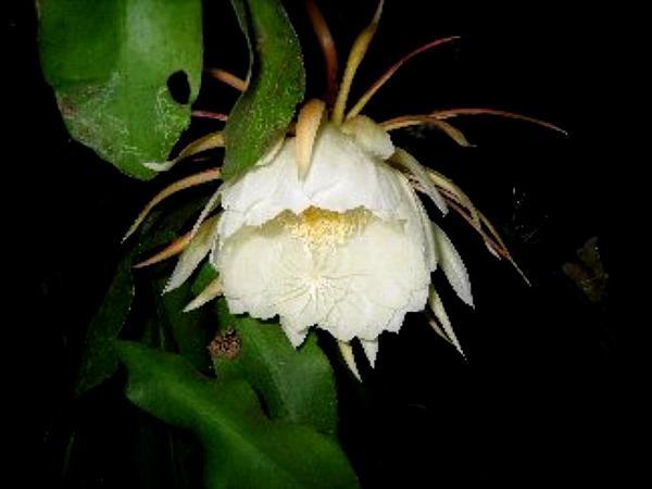 Climbing Cactus (Epiphyllum) http://www.sagebud.com/climbing-cactus-epiphyllum/