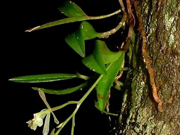 Green Fly Orchid (Epidendrum Magnoliae) http://www.sagebud.com/green-fly-orchid-epidendrum-magnoliae/