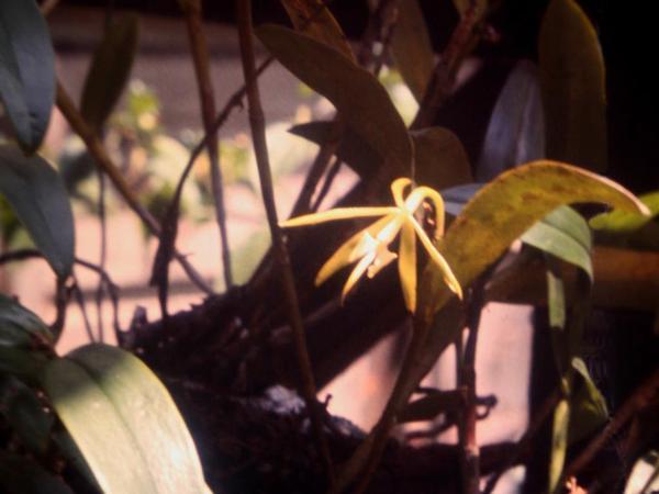 Night Scented Orchid (Epidendrum Nocturnum) http://www.sagebud.com/night-scented-orchid-epidendrum-nocturnum/