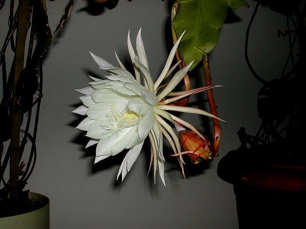 Dutchman's Pipe Cactus (Epiphyllum Oxypetalum) http://www.sagebud.com/dutchmans-pipe-cactus-epiphyllum-oxypetalum