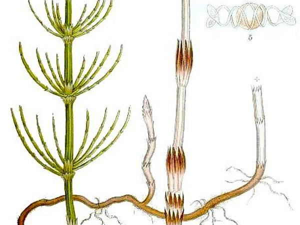 Field Horsetail (Equisetum Arvense) http://www.sagebud.com/field-horsetail-equisetum-arvense/