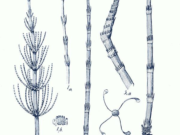 Water Horsetail (Equisetum Fluviatile) http://www.sagebud.com/water-horsetail-equisetum-fluviatile/