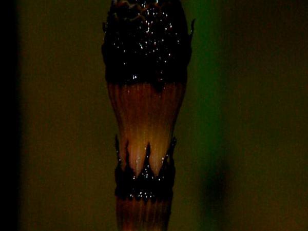 Scouringrush Horsetail (Equisetum Hyemale) http://www.sagebud.com/scouringrush-horsetail-equisetum-hyemale
