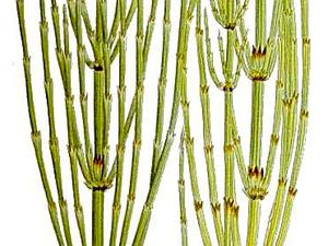 Marsh Horsetail