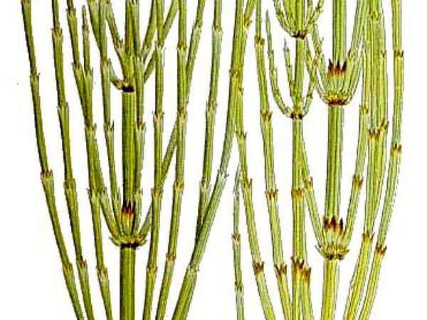 Marsh Horsetail (Equisetum Palustre) http://www.sagebud.com/marsh-horsetail-equisetum-palustre