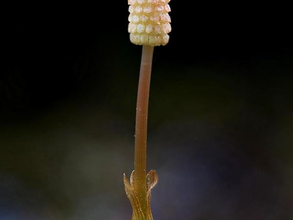 Meadow Horsetail (Equisetum Pratense) http://www.sagebud.com/meadow-horsetail-equisetum-pratense
