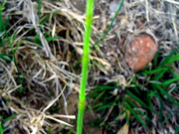 Branched Scouringrush (Equisetum Ramosissimum) http://www.sagebud.com/branched-scouringrush-equisetum-ramosissimum