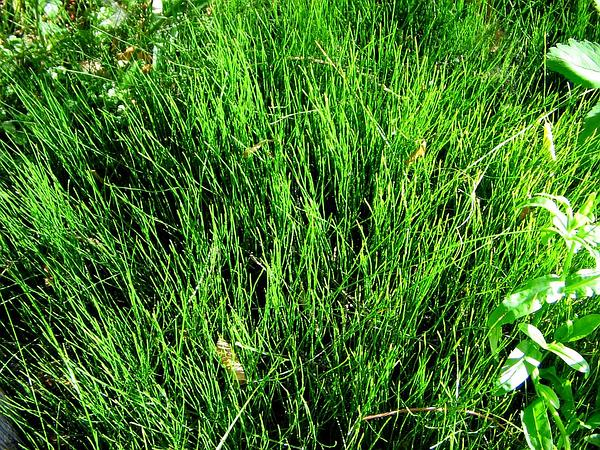 Dwarf Scouringrush (Equisetum Scirpoides) http://www.sagebud.com/dwarf-scouringrush-equisetum-scirpoides