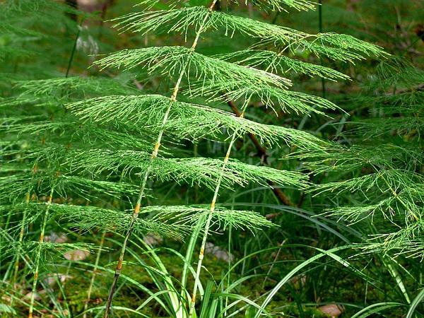 Woodland Horsetail (Equisetum Sylvaticum) http://www.sagebud.com/woodland-horsetail-equisetum-sylvaticum