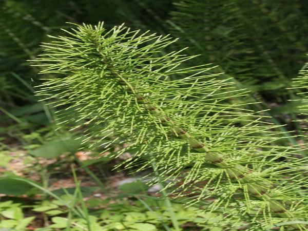 Giant Horsetail (Equisetum Telmateia) http://www.sagebud.com/giant-horsetail-equisetum-telmateia