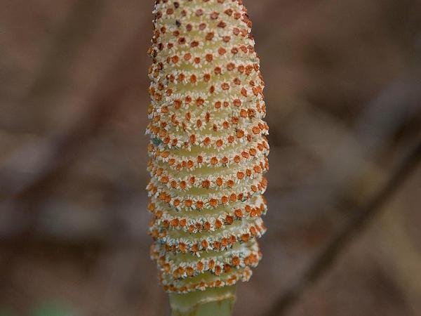 Giant Horsetail (Equisetum Telmateia) http://www.sagebud.com/giant-horsetail-equisetum-telmateia/