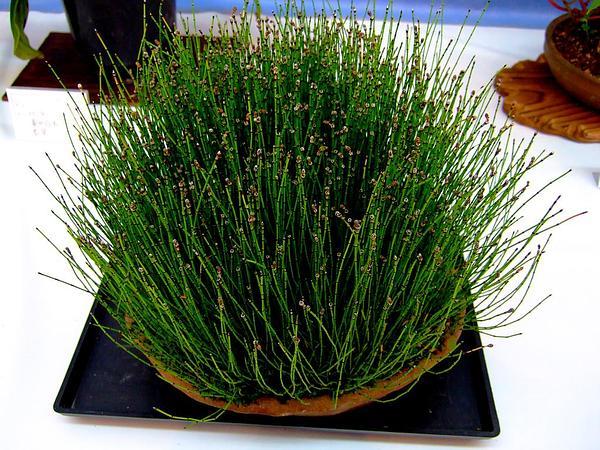 Variegated Scouringrush (Equisetum Variegatum) http://www.sagebud.com/variegated-scouringrush-equisetum-variegatum