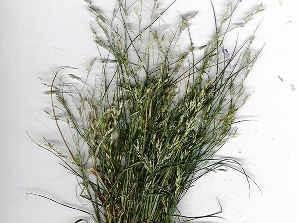 Lovegrass (Eragrostis) http://www.sagebud.com/lovegrass-eragrostis