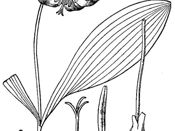 White Fawnlily (Erythronium Albidum) http://www.sagebud.com/white-fawnlily-erythronium-albidum