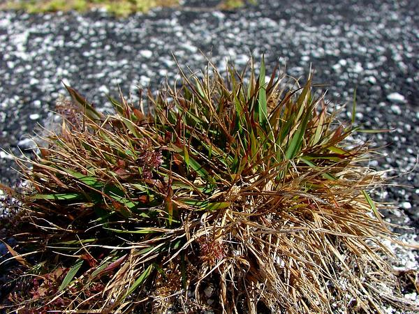 Japanese Lovegrass (Eragrostis Amabilis) http://www.sagebud.com/japanese-lovegrass-eragrostis-amabilis