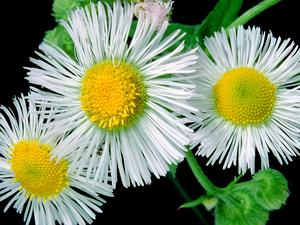 Eastern Daisy Fleabane