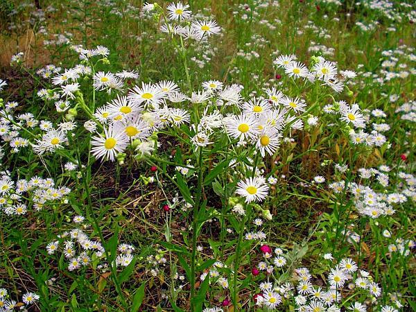 Eastern Daisy Fleabane (Erigeron Annuus) http://www.sagebud.com/eastern-daisy-fleabane-erigeron-annuus