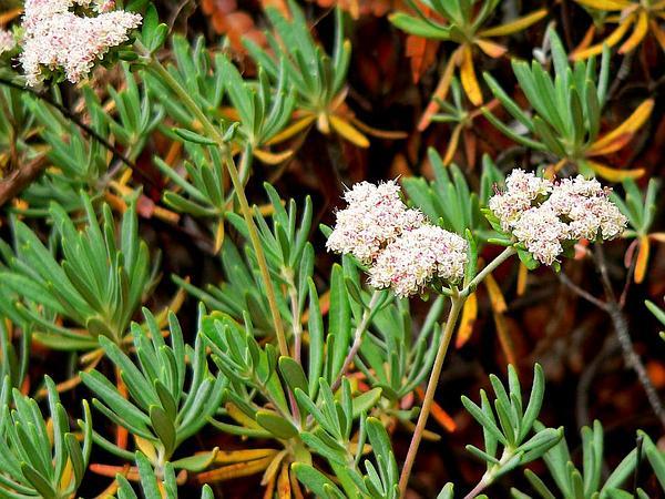 Santa Cruz Island Buckwheat (Eriogonum Arborescens) http://www.sagebud.com/santa-cruz-island-buckwheat-eriogonum-arborescens