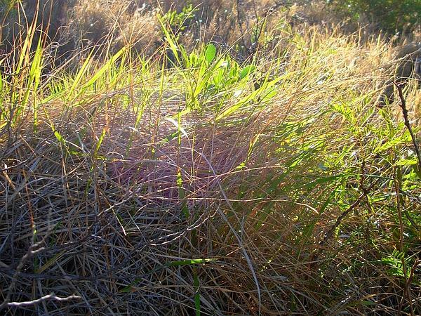 Hardstem Lovegrass (Eragrostis Atropioides) http://www.sagebud.com/hardstem-lovegrass-eragrostis-atropioides