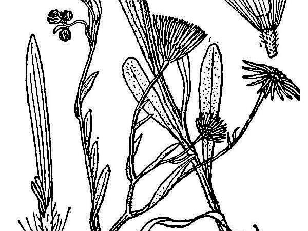 Western Daisy Fleabane (Erigeron Bellidiastrum) http://www.sagebud.com/western-daisy-fleabane-erigeron-bellidiastrum